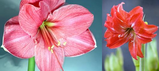 Langage des fleurs signification des fleurs offrir un for Signification amaryllis
