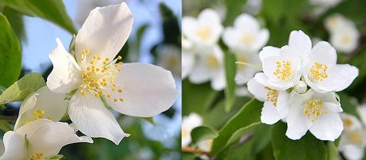 Fleurs Jasmin Langage Des Fleurs