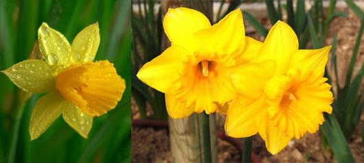 La jonquille langage des fleurs for Offrir des fleurs par internet