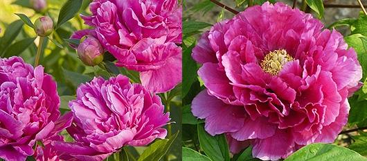 Offrir des pivoines langage des fleurs for Offrir un miroir signification