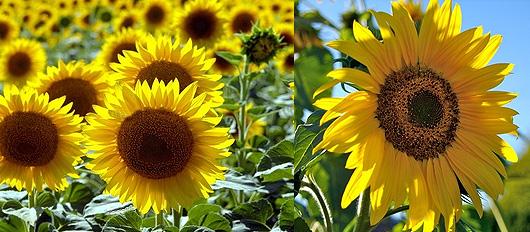 Fleur tournesol signification id e d 39 image de fleur for Offrir un miroir signification
