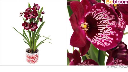 offrir-orchidee-miltonia.jpg
