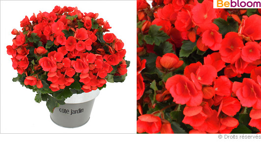 offrir-plante-begonia.jpg