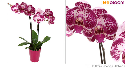 orchidee-pour-la-fete-des-meres.jpg