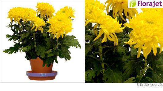 chrysantheme-jaune-gros-pompons.jpg
