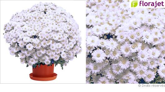 livraison-chrysantheme-blanc.jpg