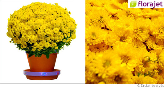 livraison-chrysantheme-jaune.jpg