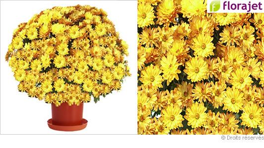 livraison-chrysantheme-orange.jpg