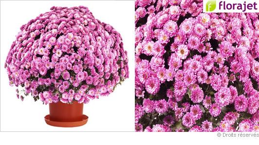 livraison-chrysantheme-rose.jpg