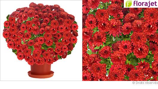 livraison-chrysantheme-rouge.jpg