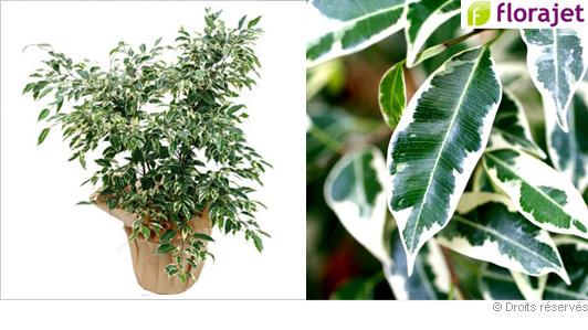 livraison-plante-ficus-panache.jpg