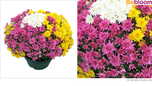 Potée de chrysanthèmes