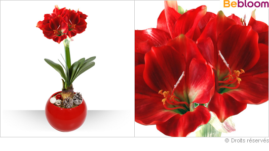 Bouquets de 20 a 30 euros for Amaryllis plantation en pot