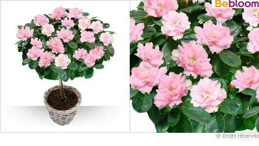 Plantes for Azalee interieur entretien