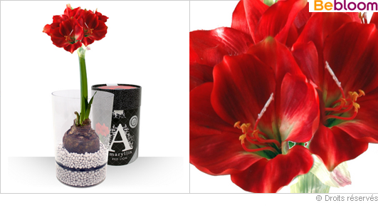 Offrir un amaryllis en bulbe dans son vase cylindré design