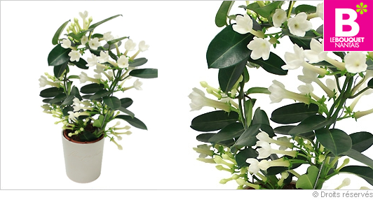 Bouquet nantais for Plante a fleur blanche exterieur