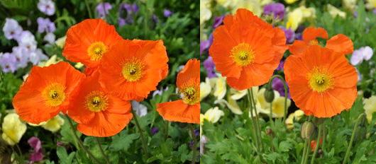 fleurs Pensée