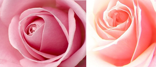 signification-rose-couleur-rose