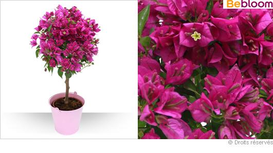 Offrez une magnifique plante grimpante aux couleurs vives