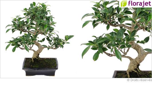 livraison-bonsai-ficus