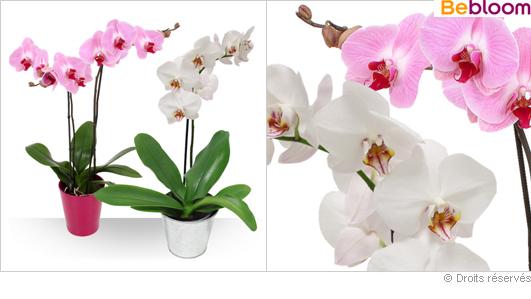 Offrir des orchidées pas cher